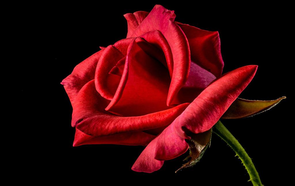 roza-konkurs-patriotyczny